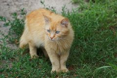 A red-haired cat stands among the green grass. A domestic kitten is standing in the green grass on the street stock photo