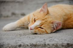 Red-haired cat Stock Images