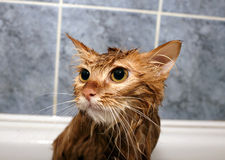 Red-haired cat wet. Muzzle ginger domestic cat after washing in the bathroom Royalty Free Stock Image