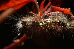 Red-haired caterpillars eat leaves