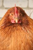 Red-haired chicken royalty free stock images