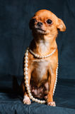 Red-haired Chihuahua in Studio. Red Chihuahua pearl beads on a dark green background Royalty Free Stock Photography