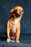 Red-haired Chihuahua in Studio. Red Chihuahua pearl beads on a dark green background Royalty Free Stock Photos