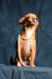 Red-haired Chihuahua in Studio. Red Chihuahua pearl beads on a dark green background Stock Images