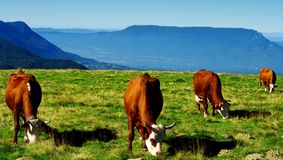Red haired cows Royalty Free Stock Photos