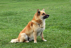 Red-haired dog on the grass Royalty Free Stock Photos