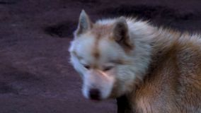 The red-haired dog of the Husky breed is tied with a chain to a wooden fence. Shaggy dog is calm, because before that he ate. stock footage