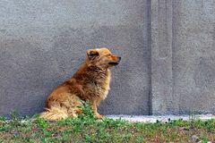 Red-haired dog sits on the street near a gray concrete wall Stock Image