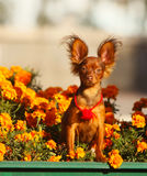 Red-haired dog sitting in the orange colors. Beautiful puppy in the flowerbed. Royalty Free Stock Photos