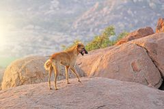 A red-haired dog stands on top of a mountain in India, Hampi.  stock photography