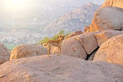 A red-haired dog stands on top of a mountain in India, Hampi.  royalty free stock images