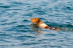 Red-haired dog swims in sea water. stock image
