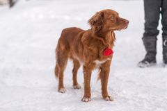 Red-haired dog in winter stock images