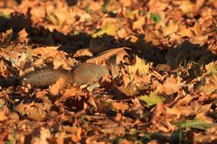 Red-haired furry squirrel in the park Royalty Free Stock Images