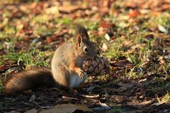 Red-haired furry squirrel in the park Stock Photos