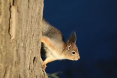 Red-haired furry squirrel in the park Stock Photography