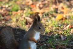 Red-haired furry squirrel in the park Royalty Free Stock Photos