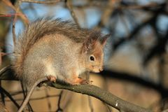Red-haired furry squirrel in the park Royalty Free Stock Photo