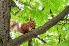 Red-haired furry squirrel sitting on a tree and eating food Royalty Free Stock Images