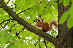 Red-haired furry squirrel sitting on a tree and eating food Royalty Free Stock Photo