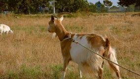 Red-haired goat stock footage