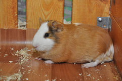 Red-haired Guinea pig Stock Photo