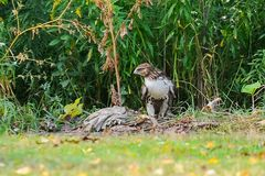 Red-tail hawk. Red-haired hawk sits on the ground in search of prey Royalty Free Stock Photo