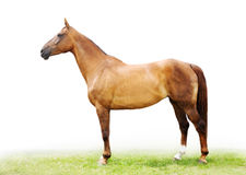 The red-haired horse. (lateral view Royalty Free Stock Image