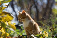 Red-haired kitten. In the autumn garden Royalty Free Stock Photo