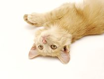 Red-haired kitten on gray background Royalty Free Stock Image