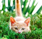 Red-haired kitten hunted in ambush on a hunt in green juniper bu royalty free stock photography