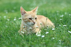 Red-haired kitten Royalty Free Stock Photos