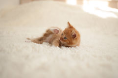 Red-haired kitten (pussycat) Royalty Free Stock Photography