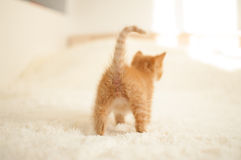 Red-haired kitten (pussycat) Stock Images