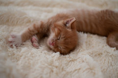 Red-haired kitten (pussycat) Royalty Free Stock Images