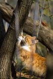 Red-haired kitten. In the autumn garden Royalty Free Stock Images