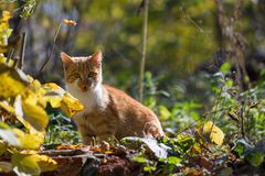 Red-haired kitten. In the autumn garden Royalty Free Stock Photography