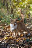 Red-haired kitten. In the autumn garden Stock Images