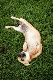 Red-haired little dog in the grass stock photography