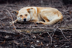 Red-haired mongrel dog  lay up on the branches and pitying looks Stock Photography