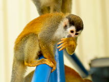 Red-haired monkey.  Grey-crowned Central American squirrel monkey, Saimiri oerstedii citrinellus. Grey-crowned Central American squirrel monkey, Saimiri Stock Photography