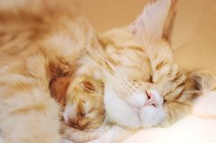 Red-haired mother of a cat with a small kitten stock image