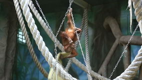Red haired orangutan playing in zoo stock video footage