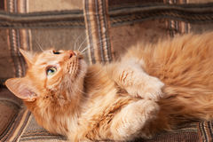 Red-haired playful cat lying on the sofa Stock Images