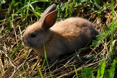 Red-haired rabbit on the farm. Red-haired hare on the grass in nature Stock Photo