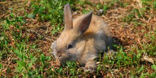 Red-haired rabbit on the farm. Red-haired hare on the grass in nature Royalty Free Stock Image