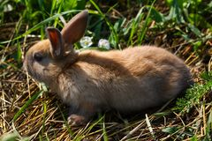 Red-haired rabbit on the farm. Red-haired hare on the grass in nature Royalty Free Stock Images