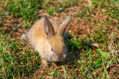 Red-haired rabbit on the farm. Red-haired hare on the grass in nature Stock Image