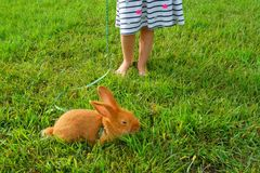 Little girl with a red bunny on a green grass stock image
