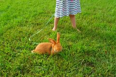 Red-haired rabbit on a leash stock photography